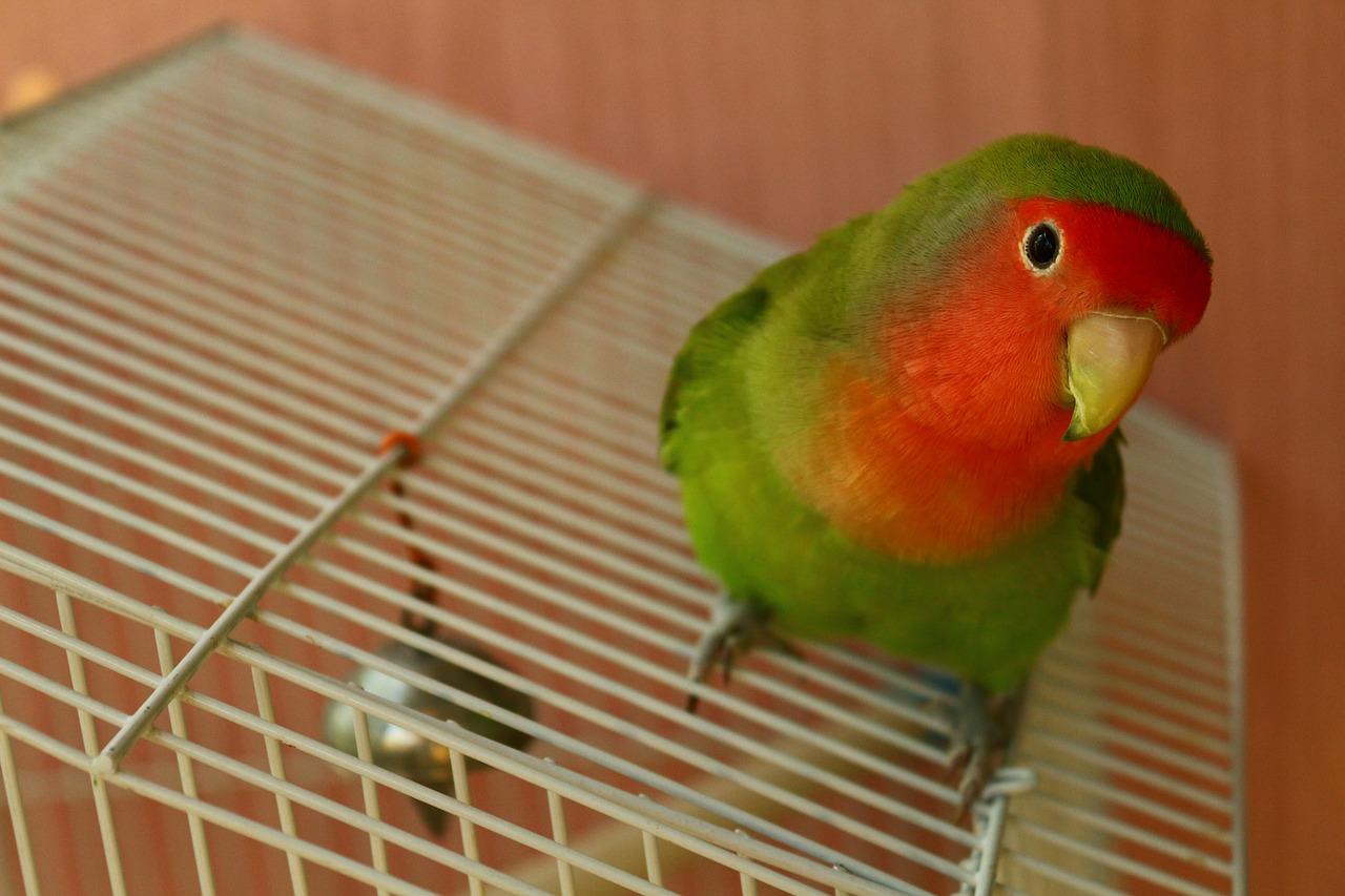 Ciri Fisik Lovebird Ngekek Panjang