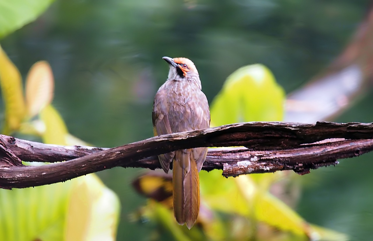 Harga Burung Cucak Rowo
