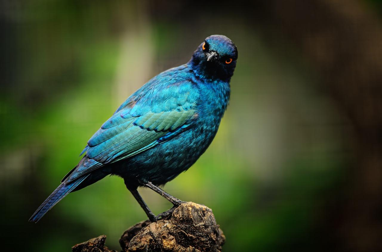 Harga Burung Jalak