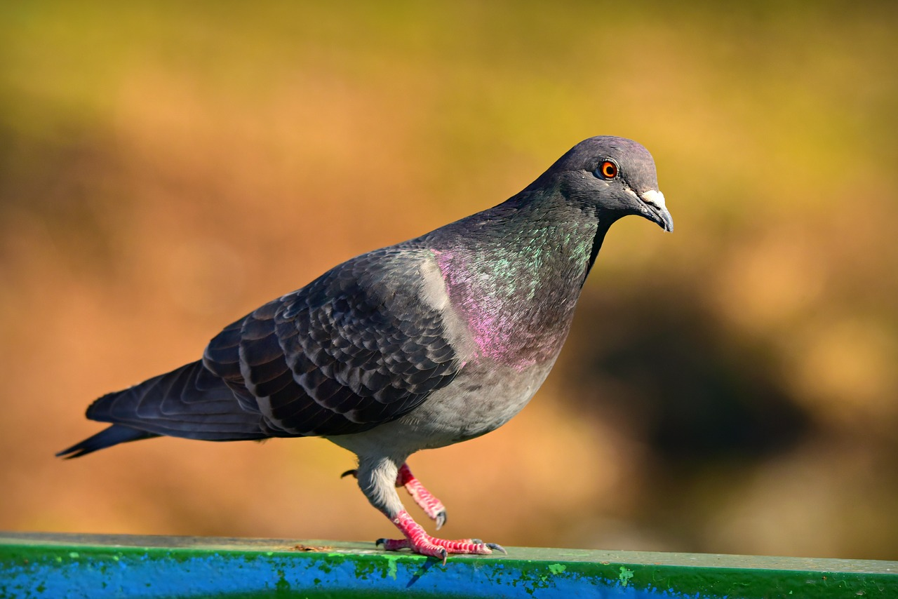 Harga Burung Merpati