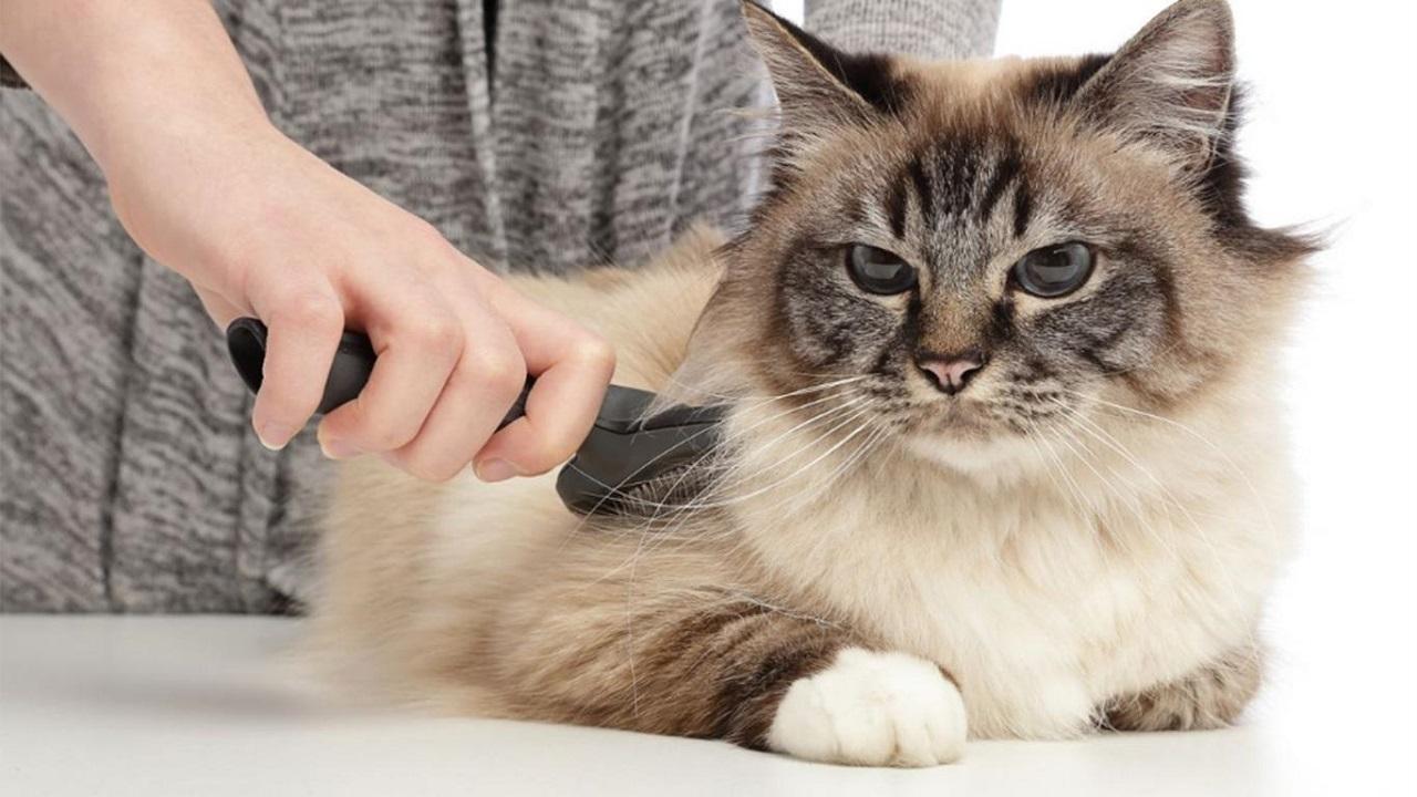 Harga Grooming Kucing