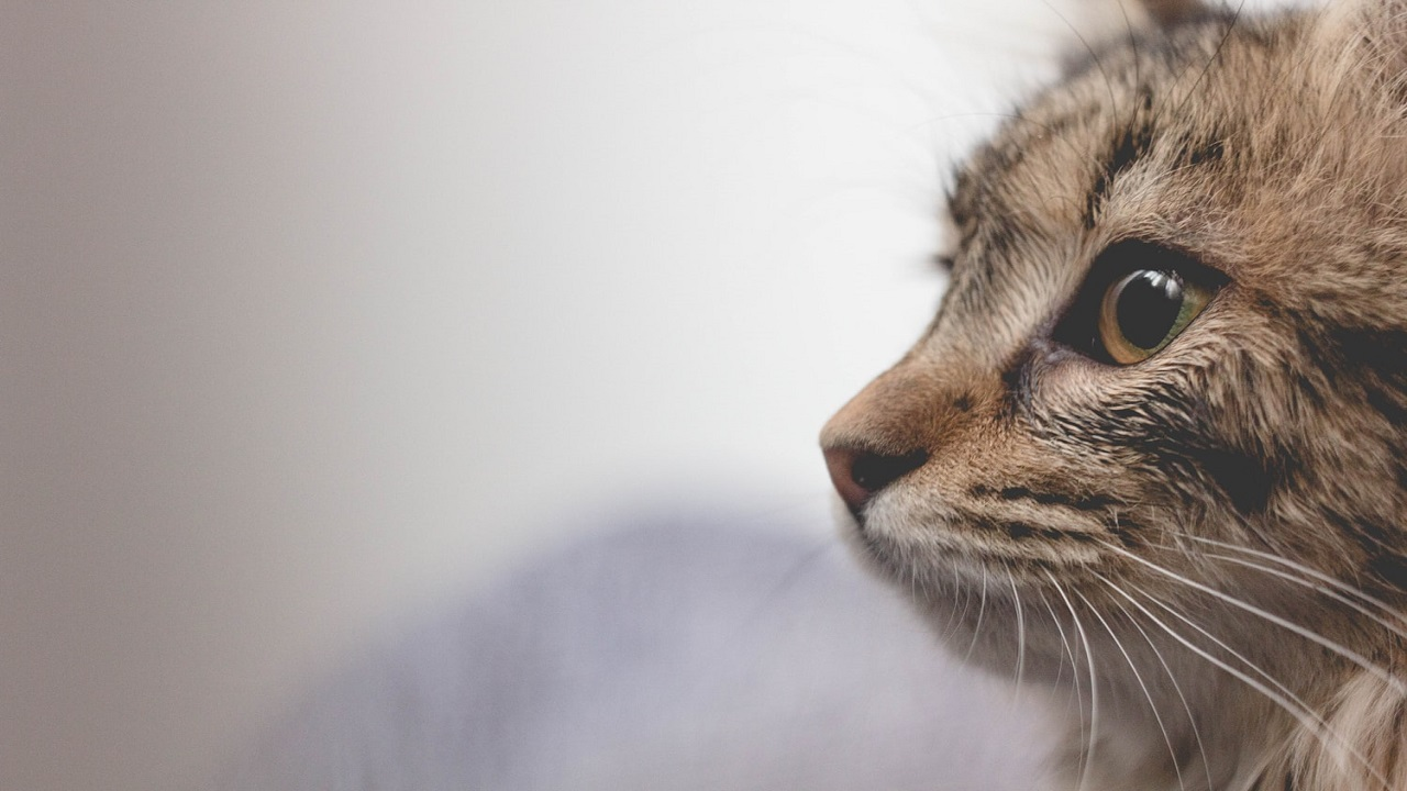 Jamur Pada Kucing