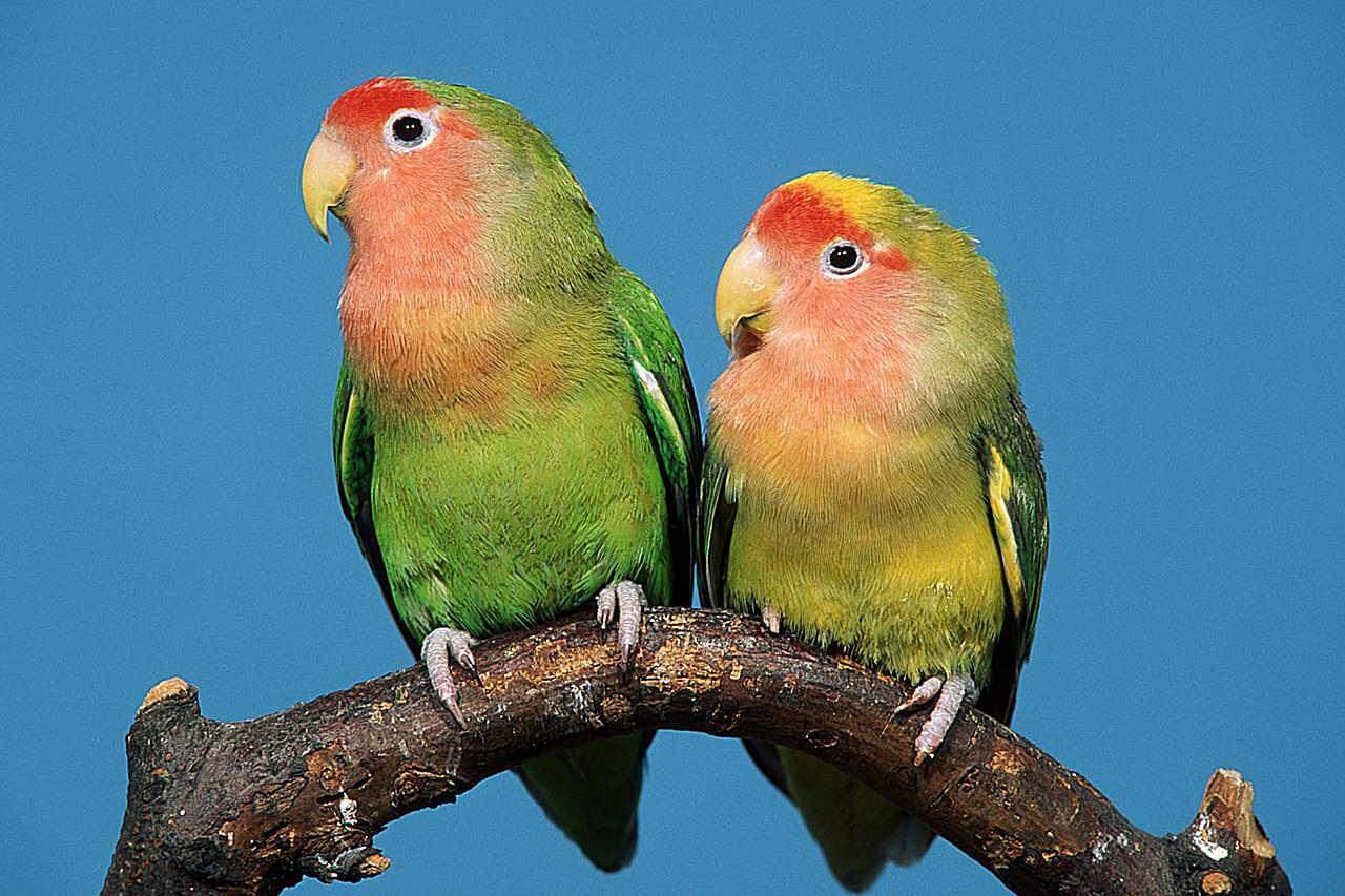 Mengenal Lovebird Lebih Dekat