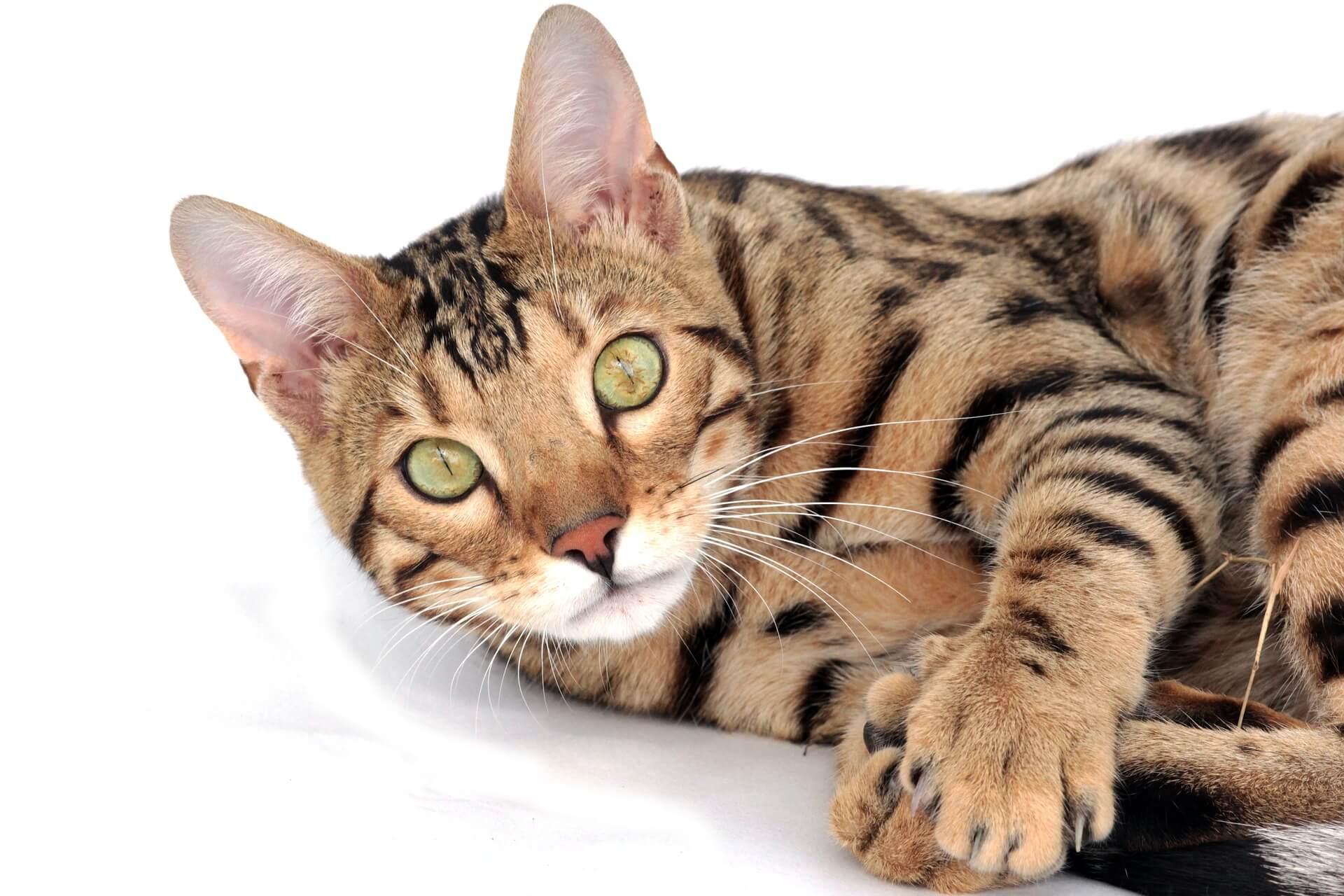 Tips Pemeliharaan Kucing Bengal
