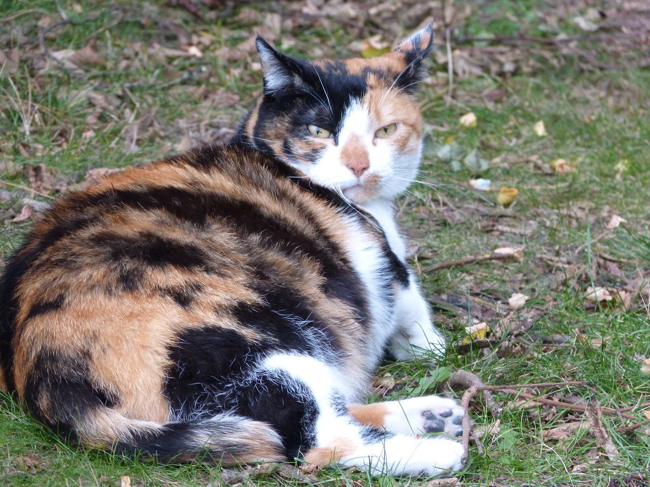 Ciri-ciri Kucing Mau Melahirkan