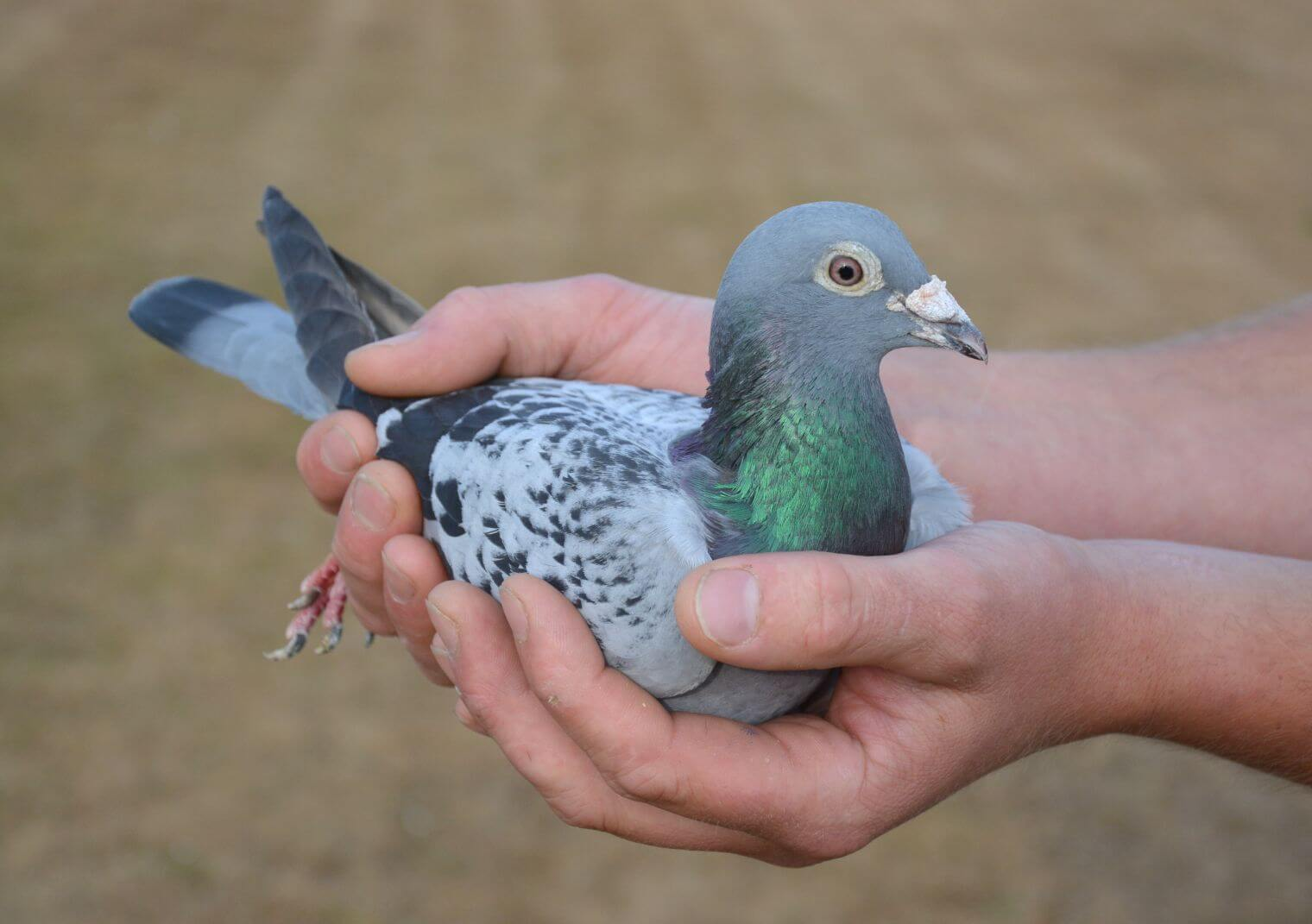 Ciri-Ciri Burung Merpati yang Baik dan Berkualitas Juara
