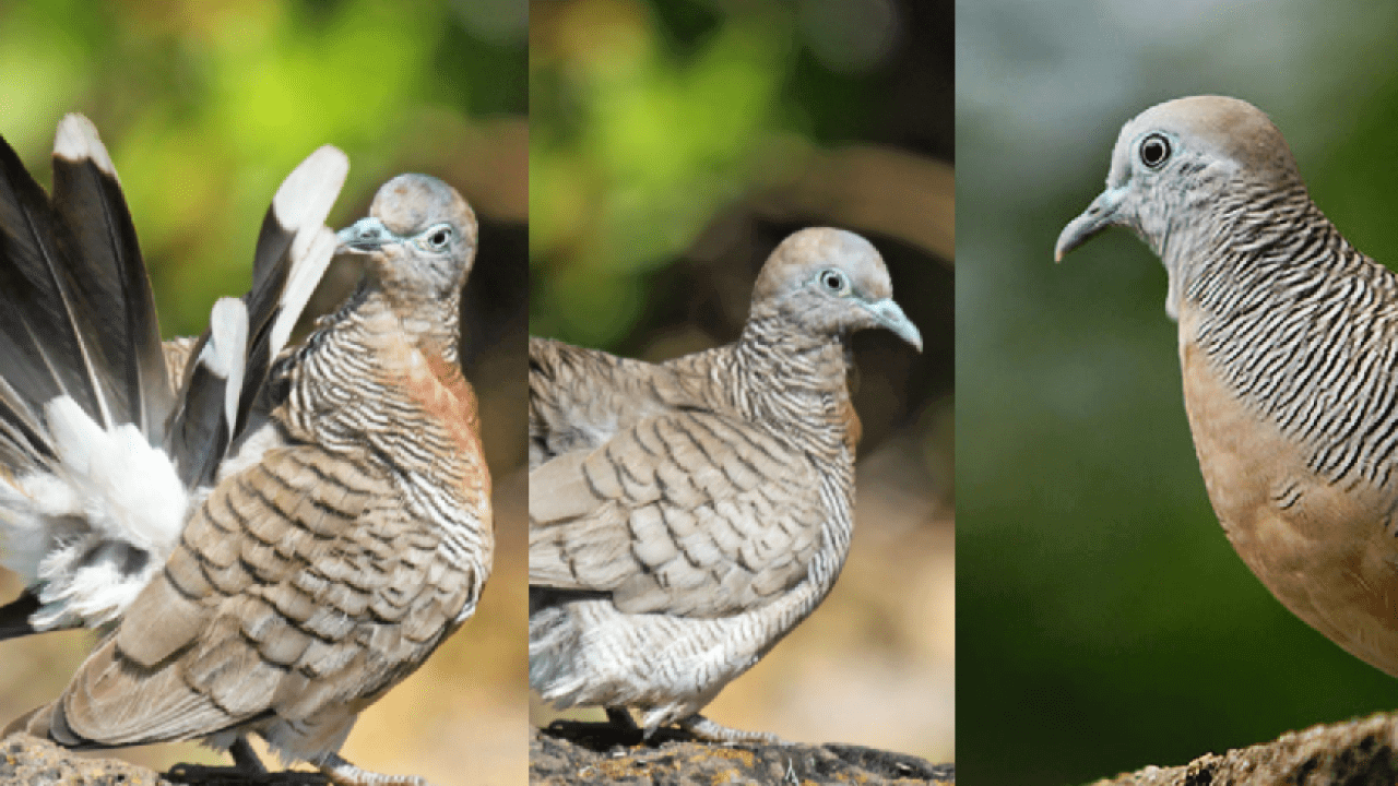 ciri-ciri burung perkutut