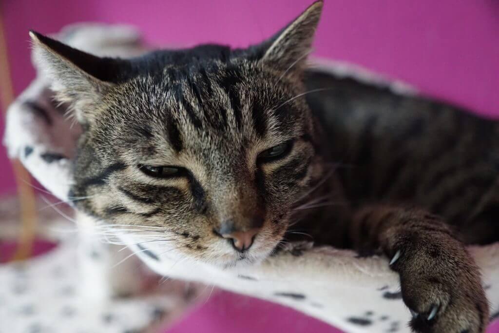 Ciri-Ciri Kucing yang Terserang Flu