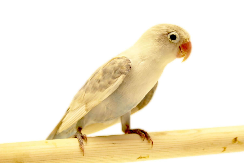 Faktor Harga Lovebird