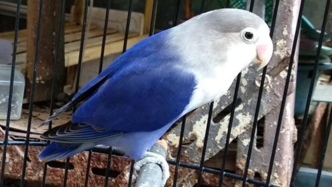 Hal-Hal yang Mempengaruhi Harga Lovebird Biru Mangsi