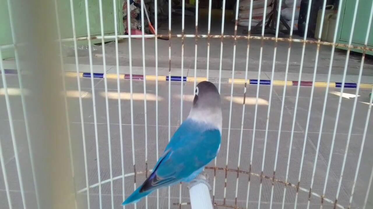 Harga Lovebird Biru Mangsi