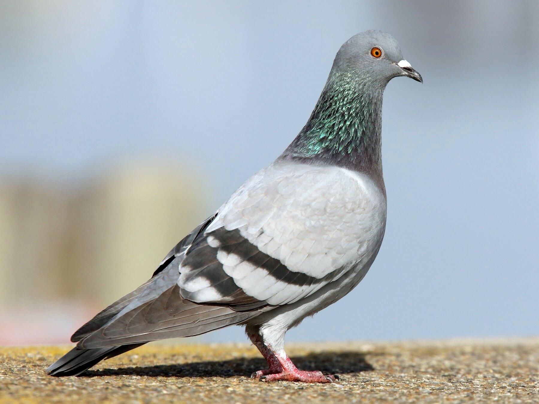 Daftar Harga Burung Merpati Di Pasaran