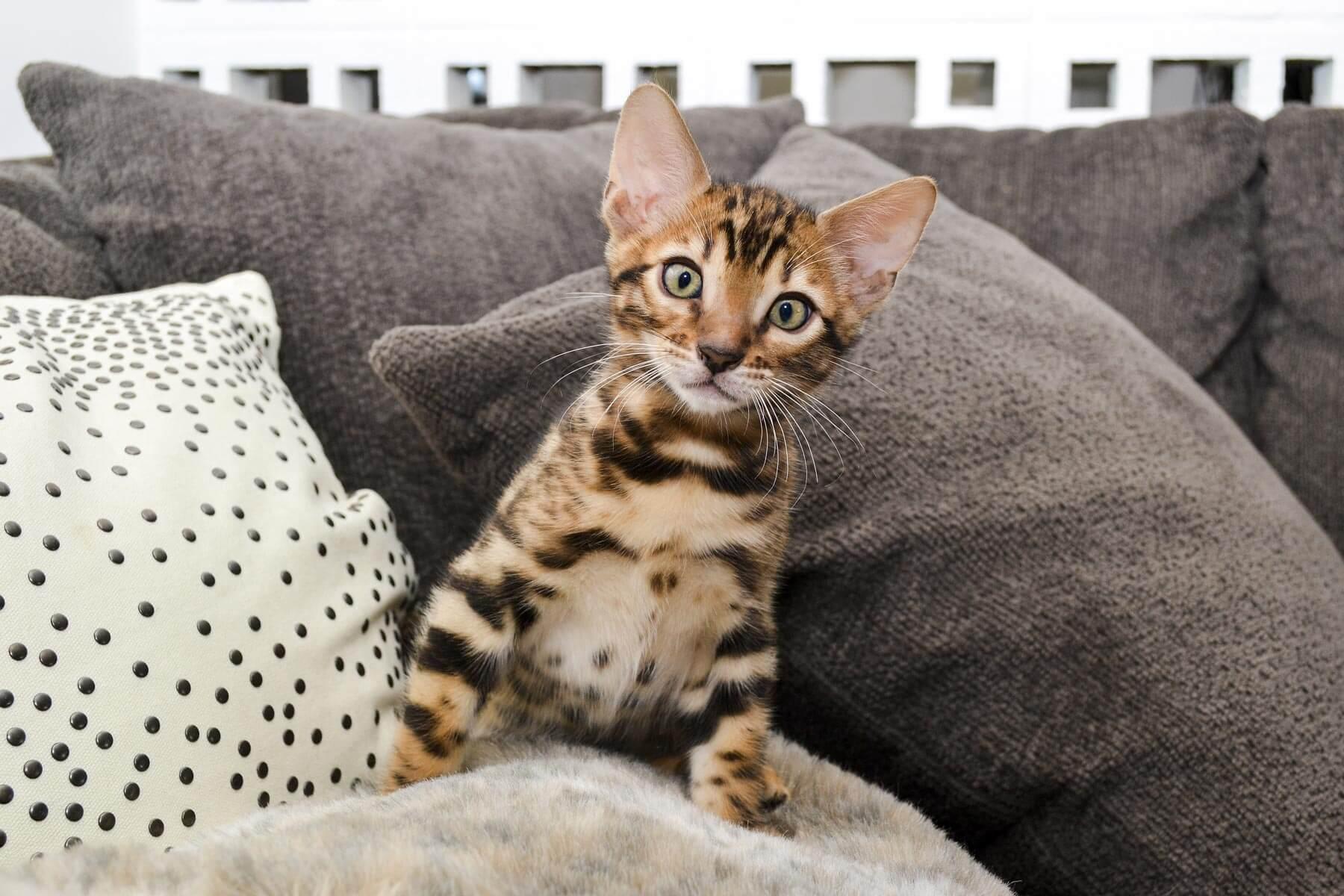 Harga Kucing Bengal Berdasarkan Jenis dan Karakteristik