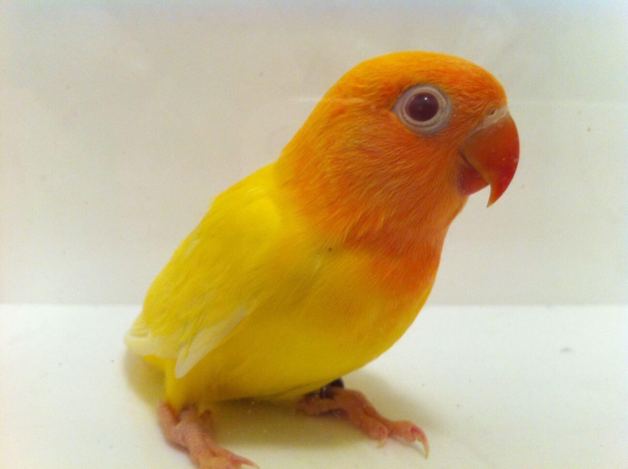 Daftar Harga Lovebird Lutino Mata Merah
