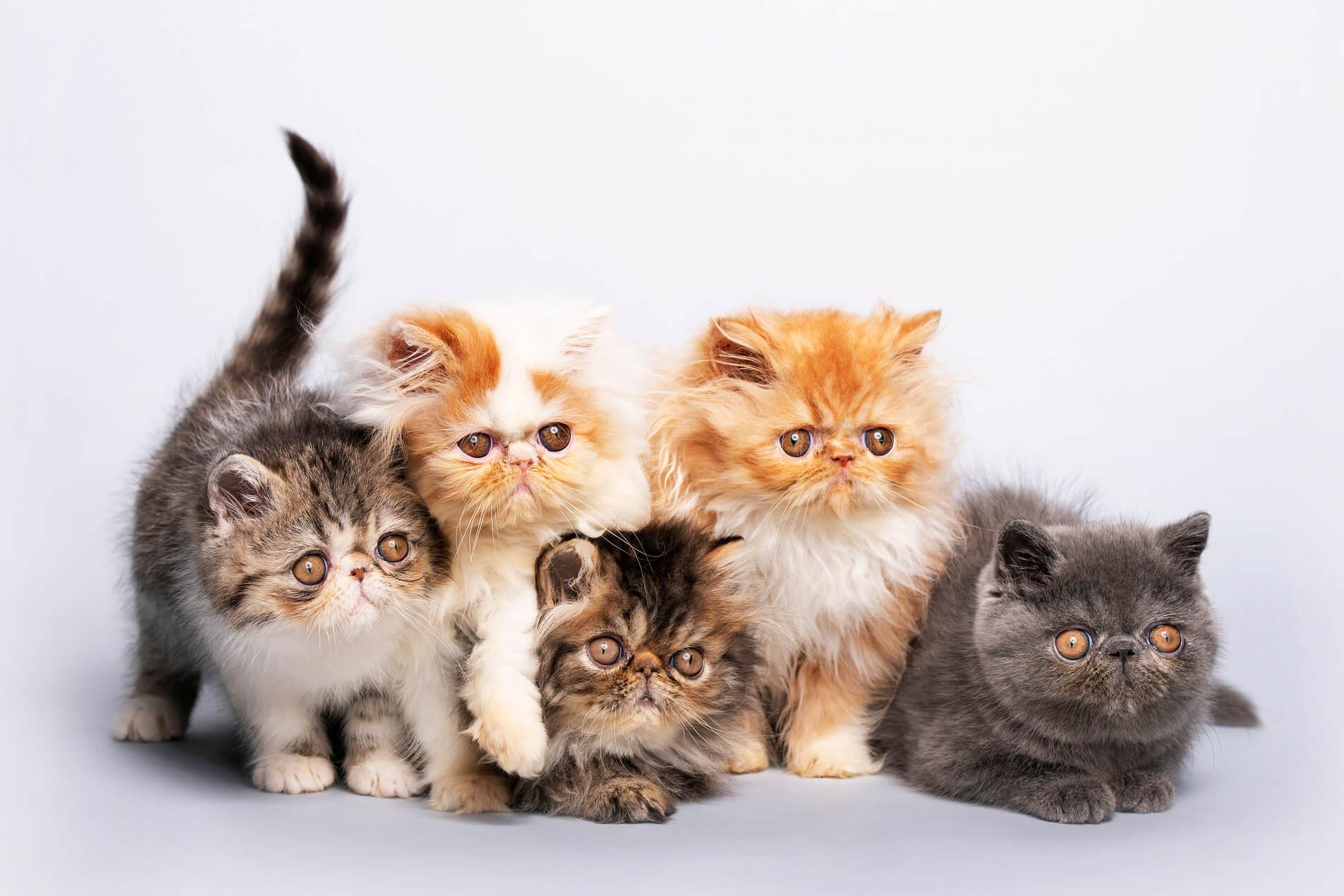 Jenis-jenis Kucing Persia yang Populer di Indonesia