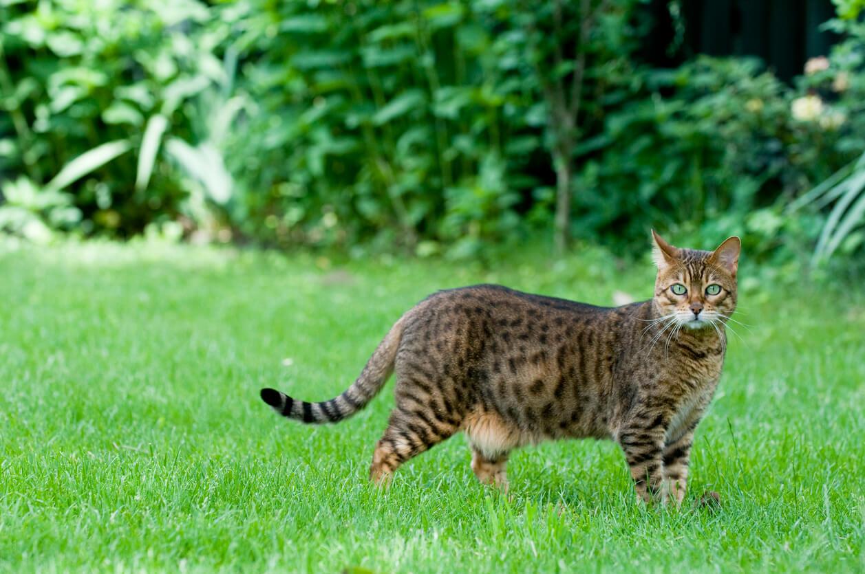 Kucing Bengal Asli untuk Peliharaan Unik di Rumah