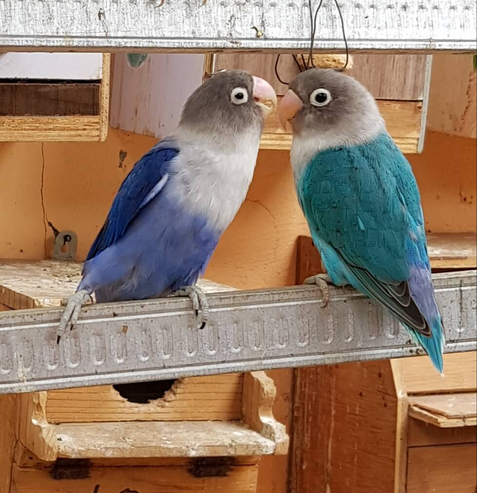 Perbedaan Burung Lovebird Violet dengan Lovebird Biru Mangsi