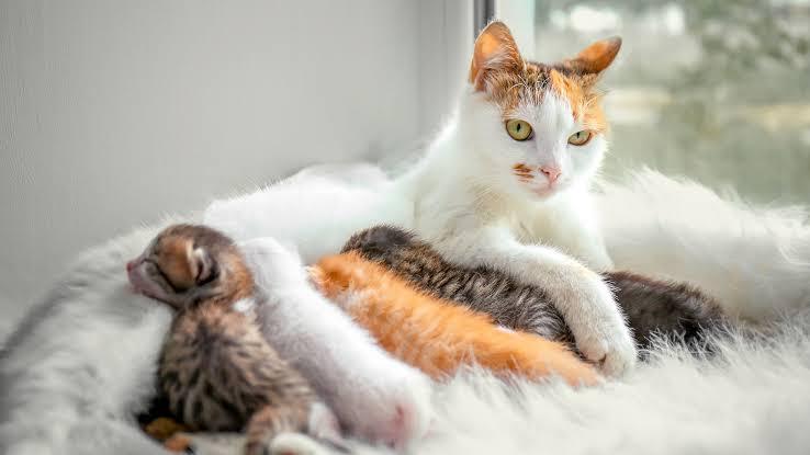 Cara Membantu Kucing Mau Melahirkan