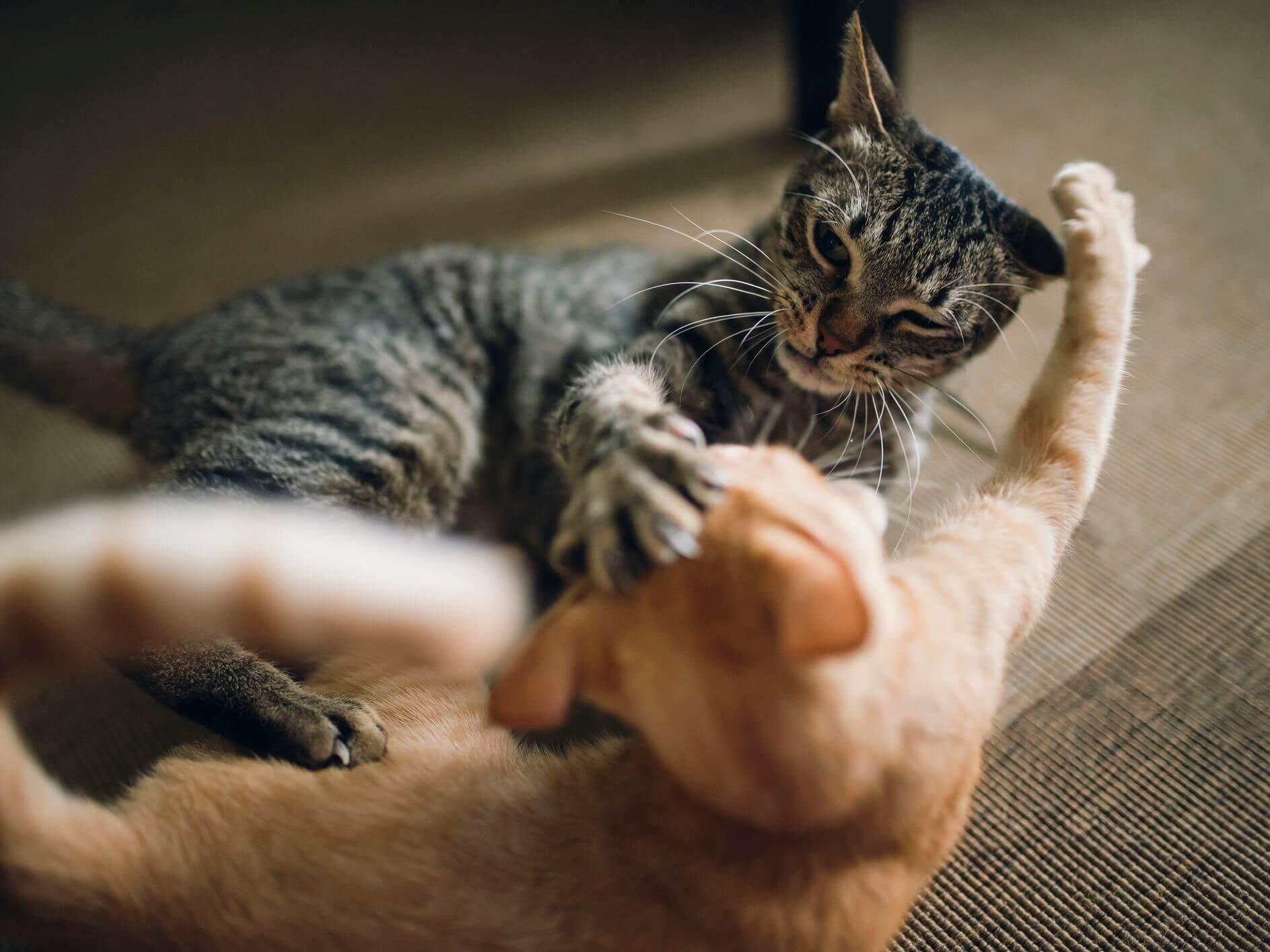 Cara Mengusir Kucing yang Berkelahi Tanpa Menyakitinya