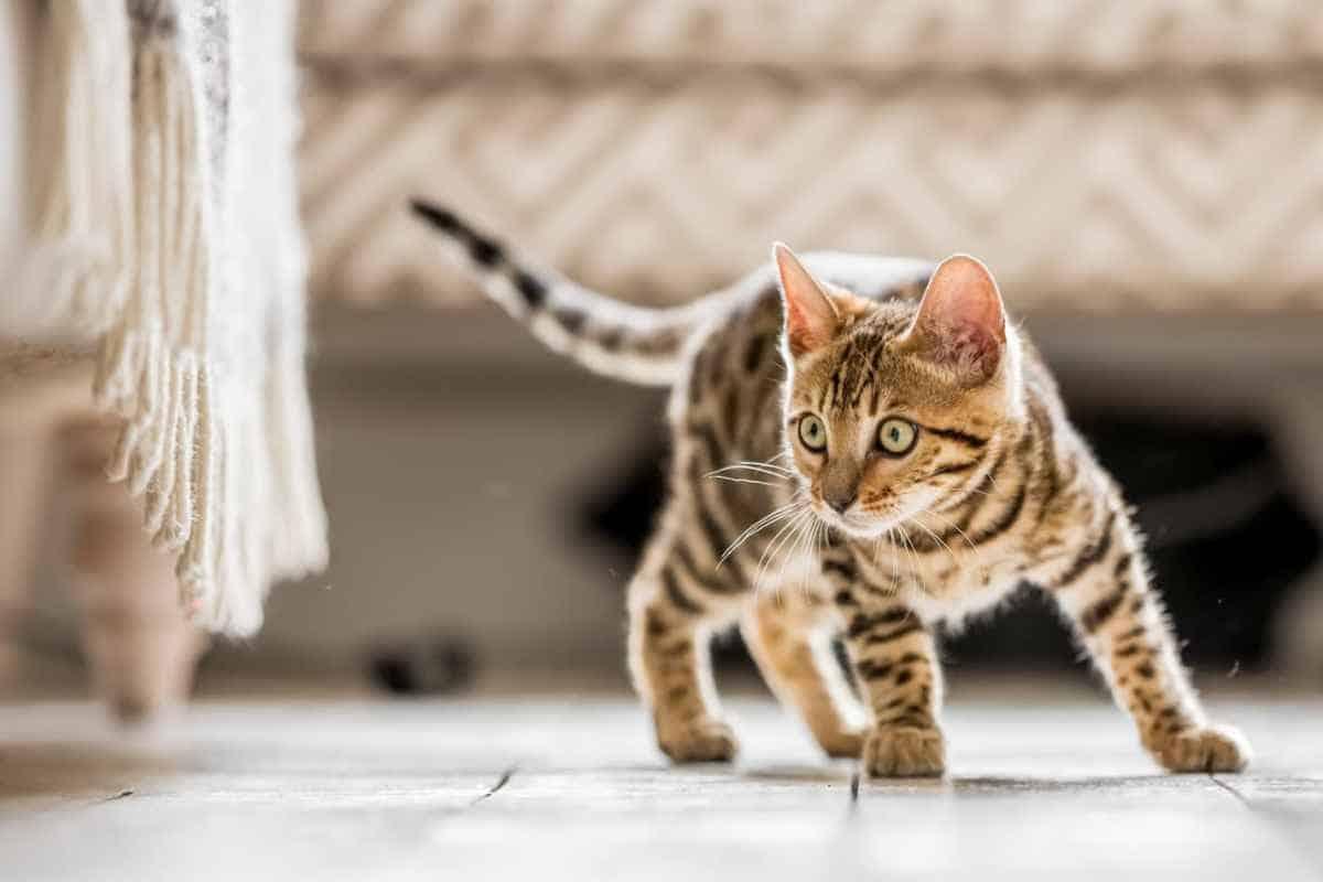 Hal yang Perlu Diketahui Calon Pemilik Mengenai Kucing Bengal