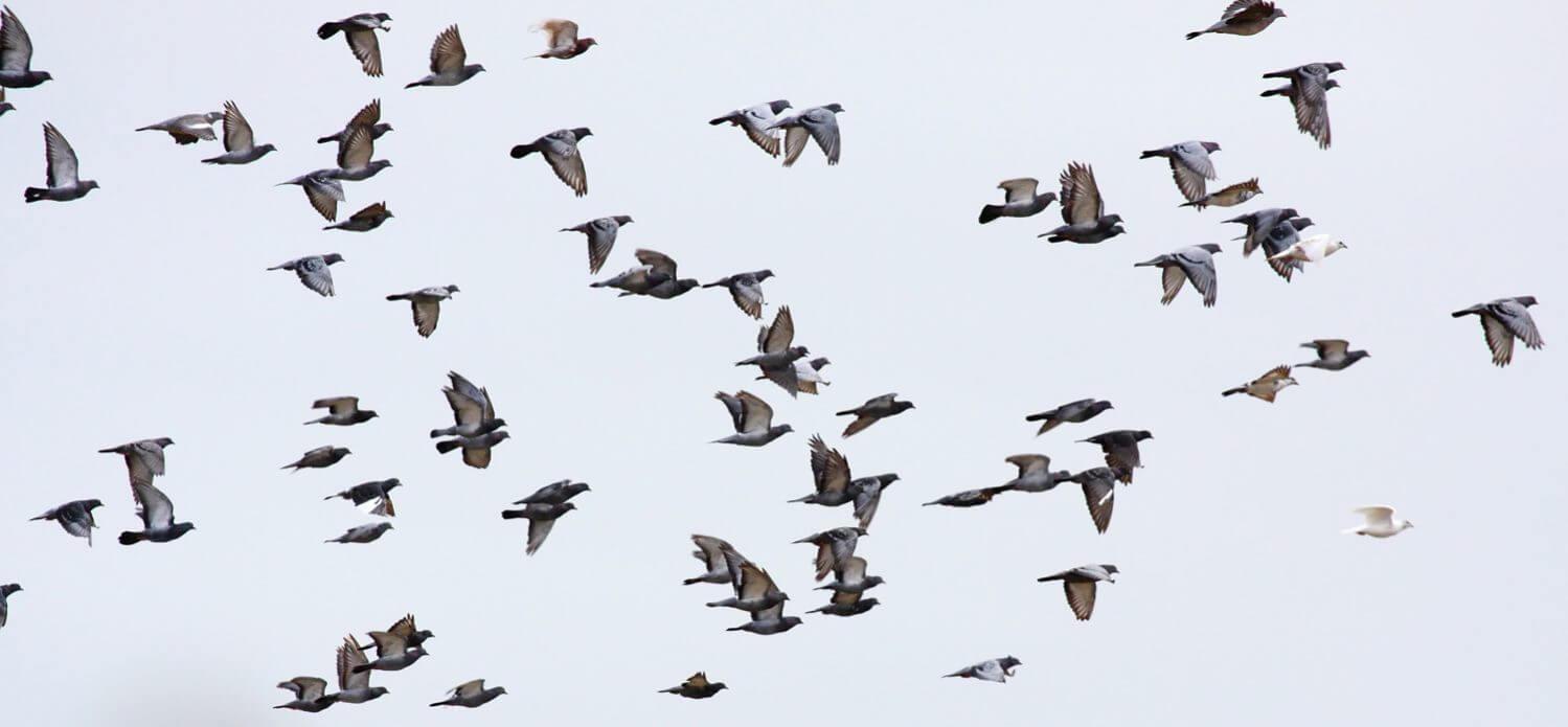 Populasi Burung Merpati di Indonesia