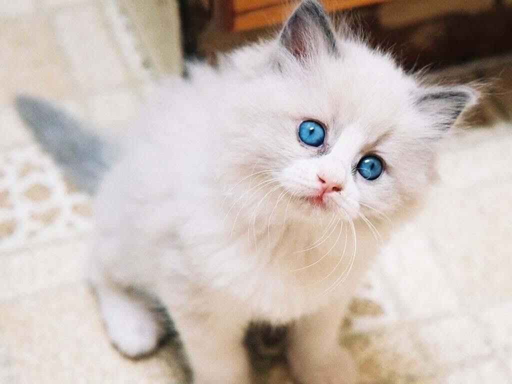 Asal Usul Kucing Anggora