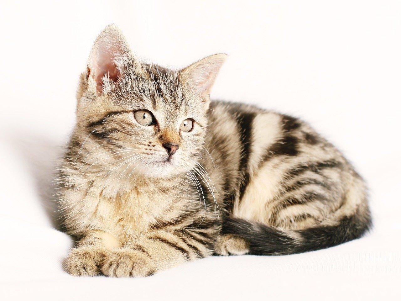 Cara Memelihara Kucing Kampung Agar Gemuk