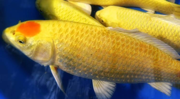 Ikan Koi Ogon Si Putih Keemasan yang Sangat Cantik
