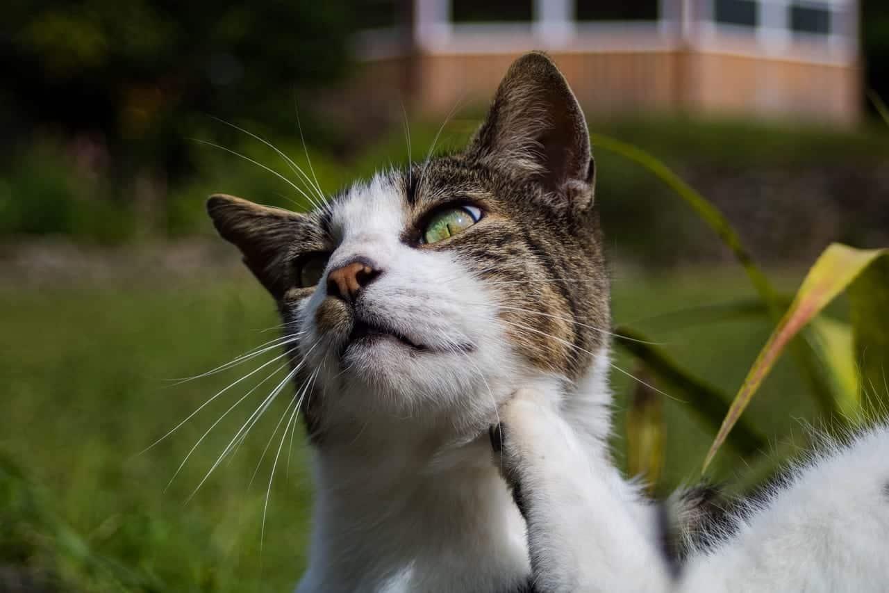 Alergi Dermatitis Pada Kucing