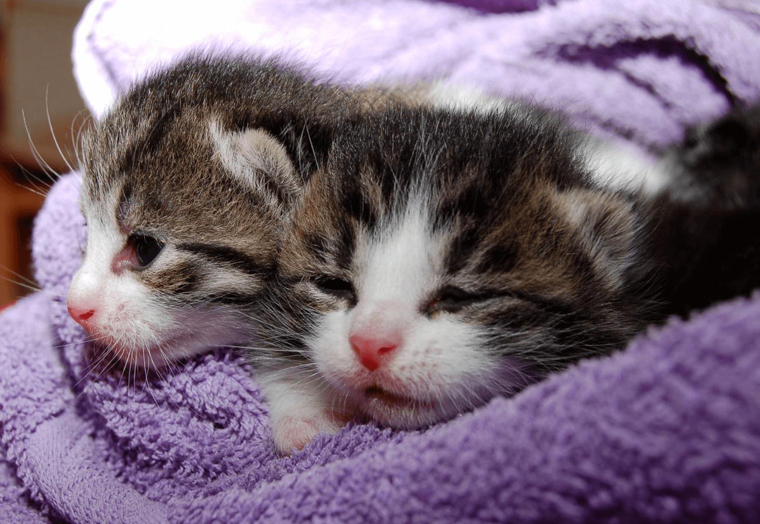 Cara Merawat Bayi Kucing Baru Lahir Tanpa Induk Agar Tetap Sehat