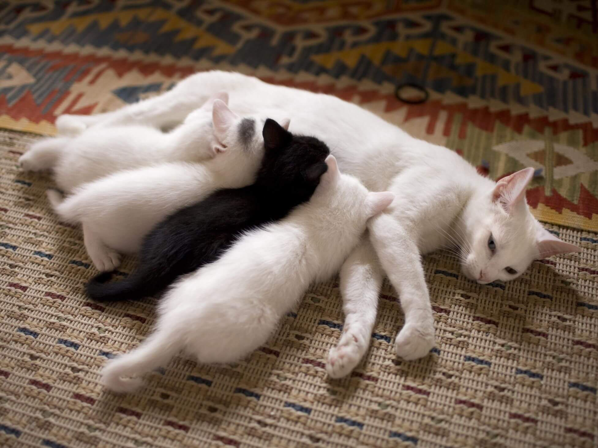 Cara Merawat Bayi Kucing 1 Bulan: Pastikan Kucing Disusui Oleh Induk