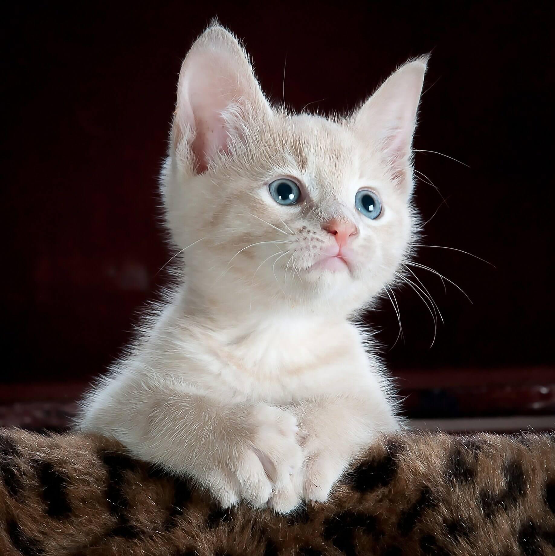 Cara Merawat Bayi Kucing Tanpa Induk: Bersihkan Mata Kucing Secara Rutin