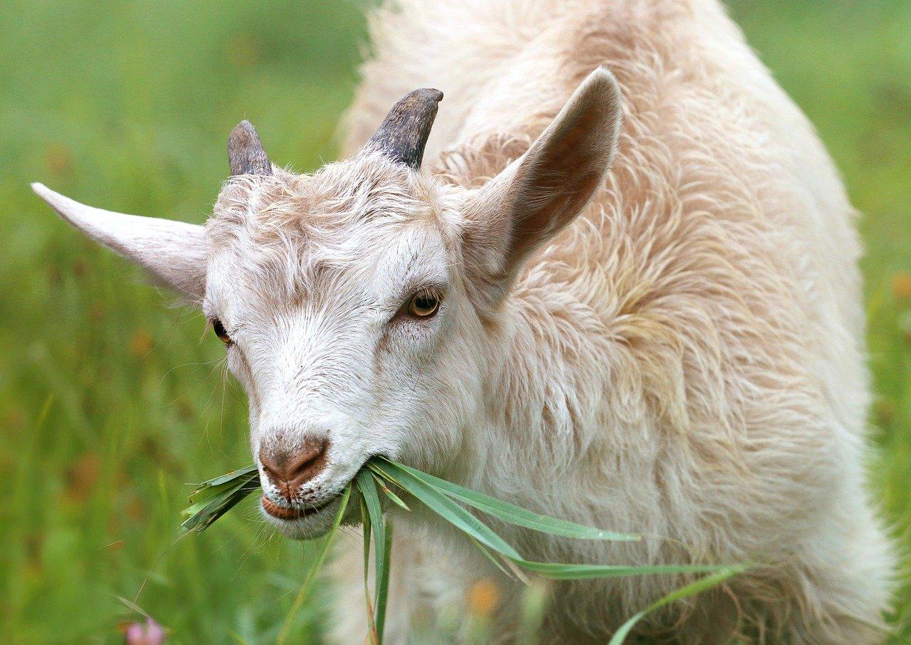 cara membuat pakan kambing fermentasi dengan em4