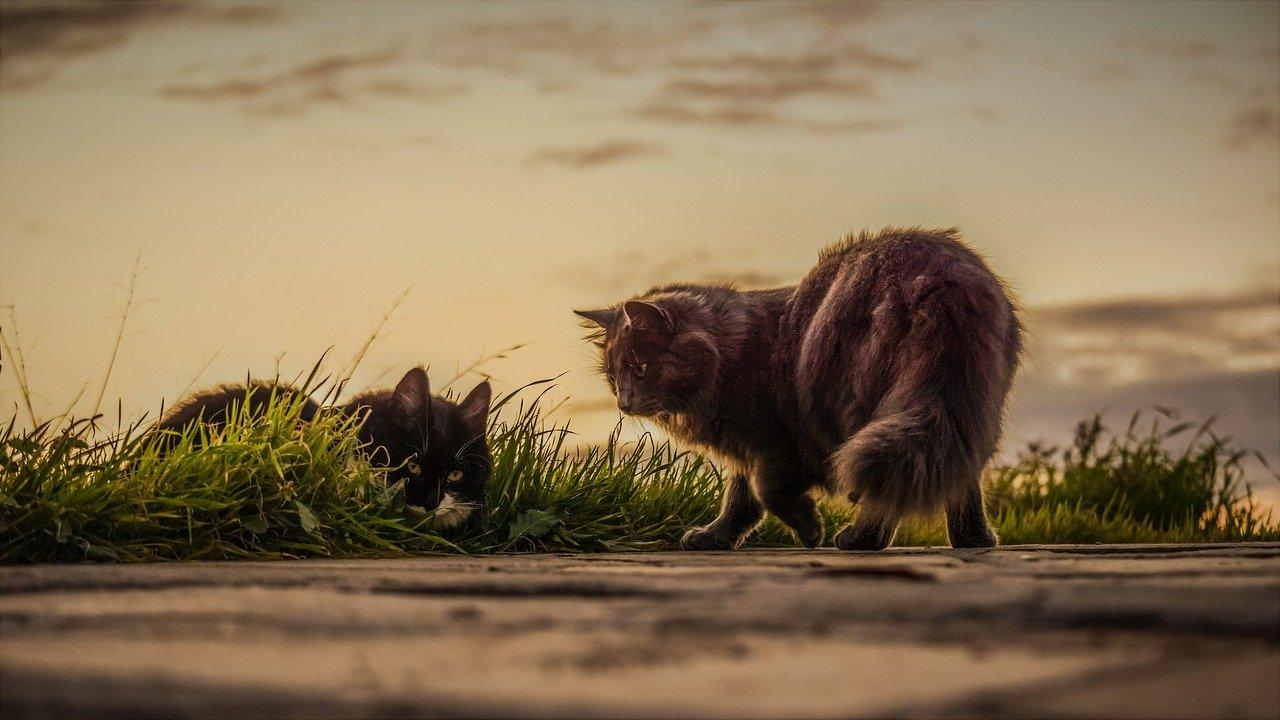 cara mengawinkan kucing yang baru kenal