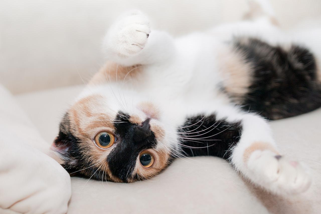 cara mengobati kucing sakit lemas