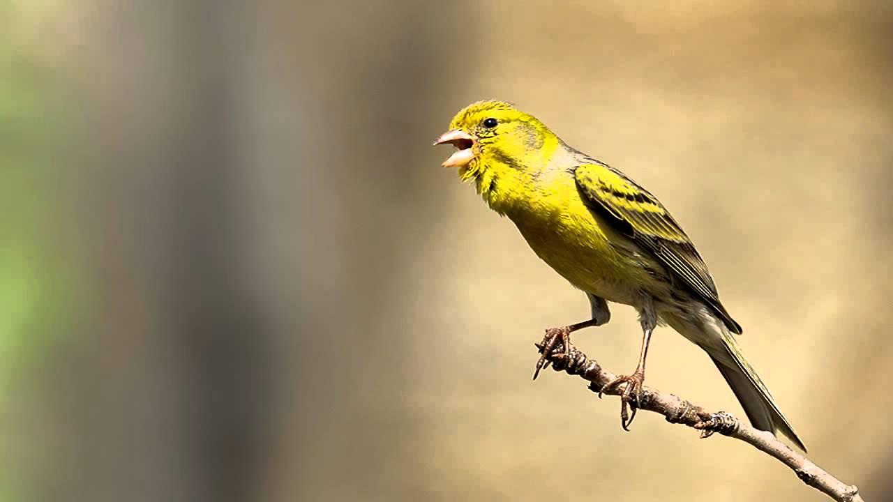 cara menurunkan birahi burung kenari