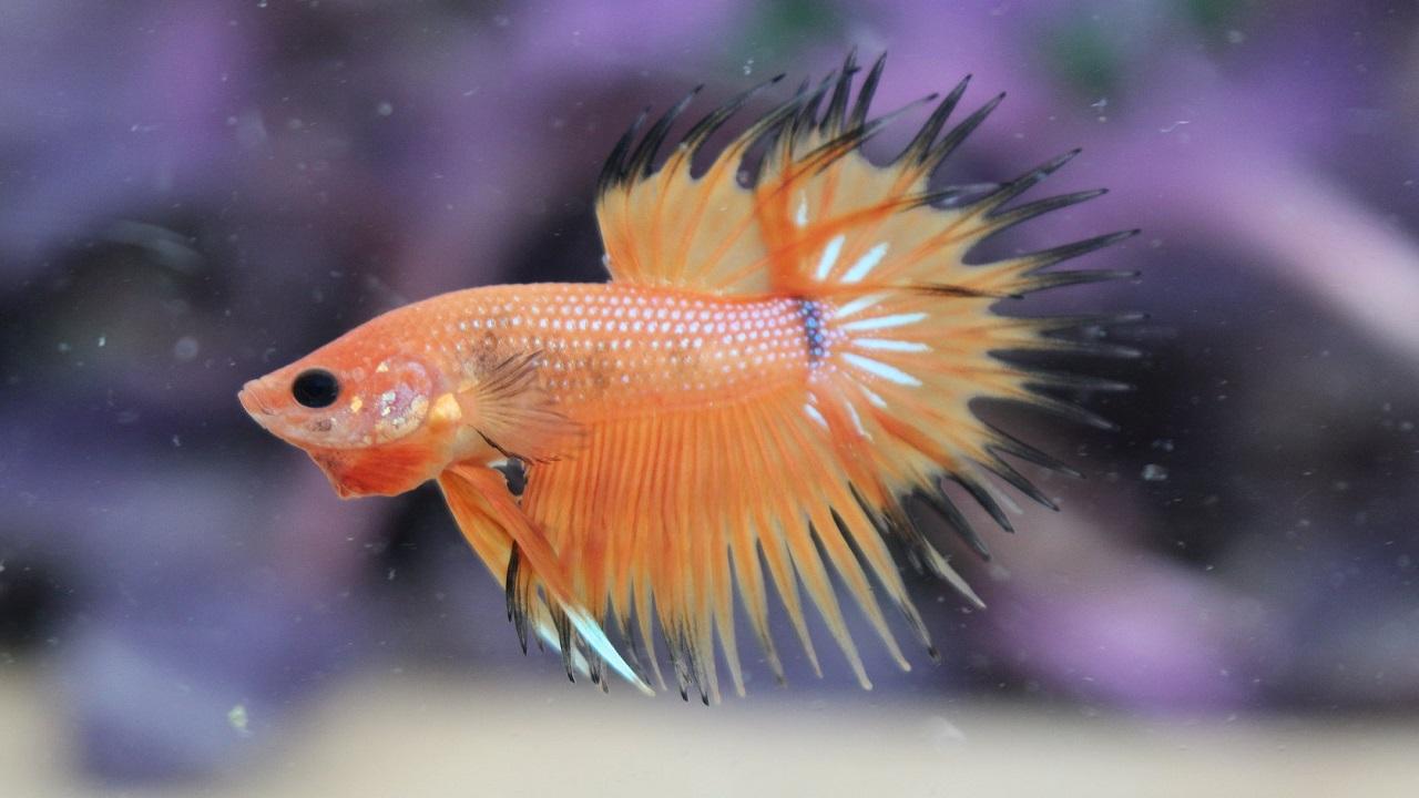 7 Cara Merawat Ikan Cupang Agar Ekornya Bagus dan Tips ...