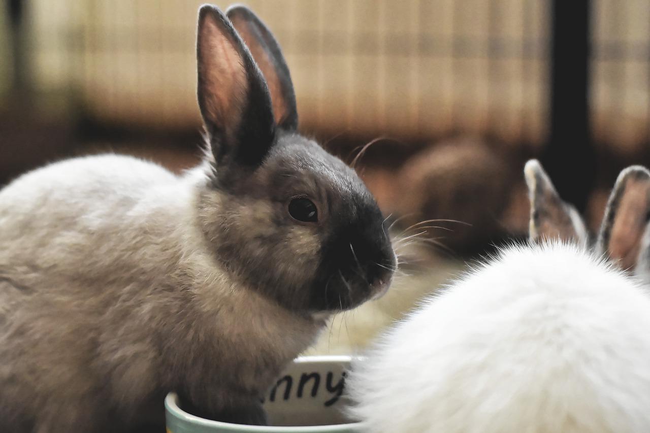 ciri-ciri kelinci hamil muda