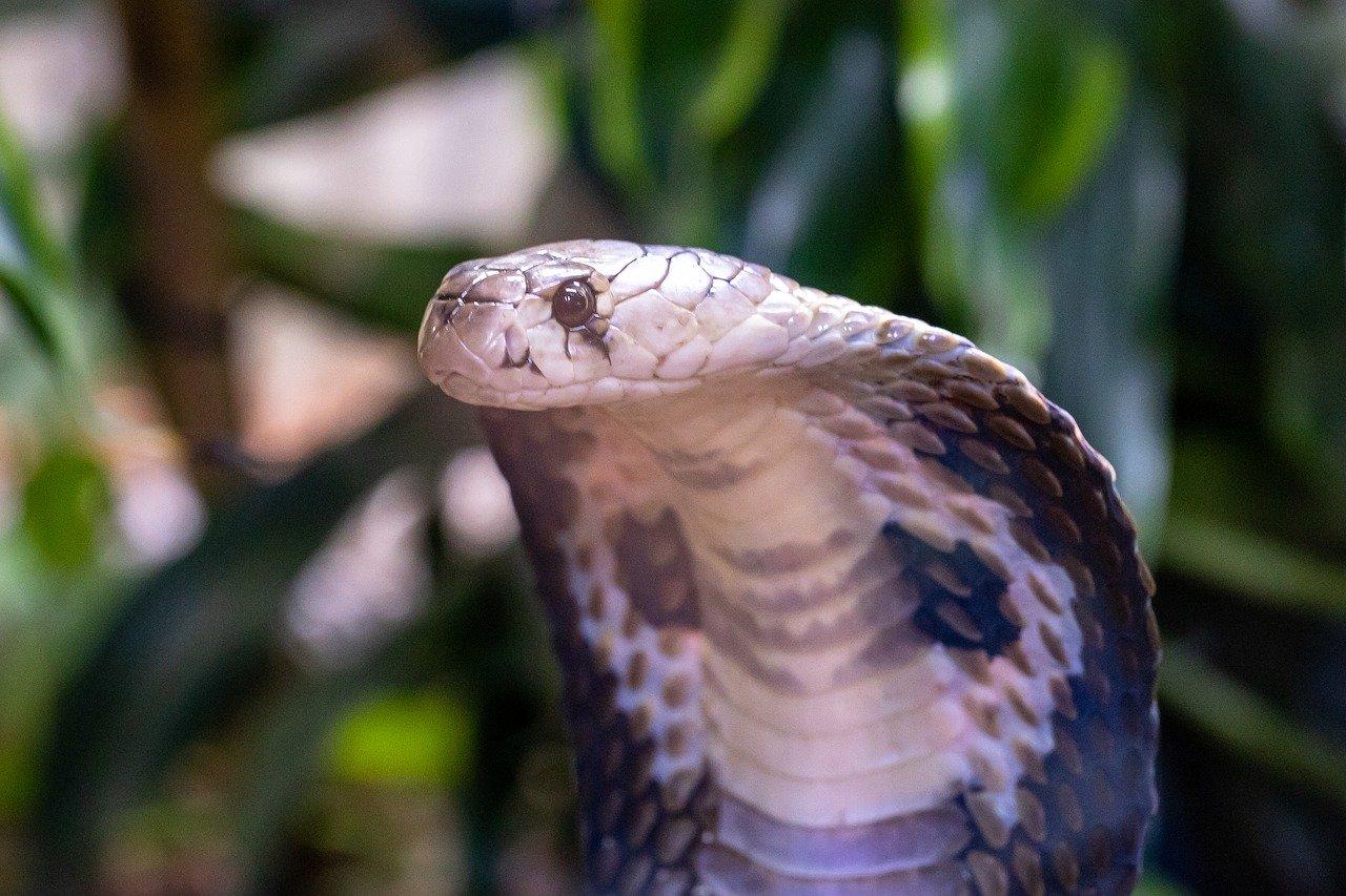 ciri-ciri ular berbisa