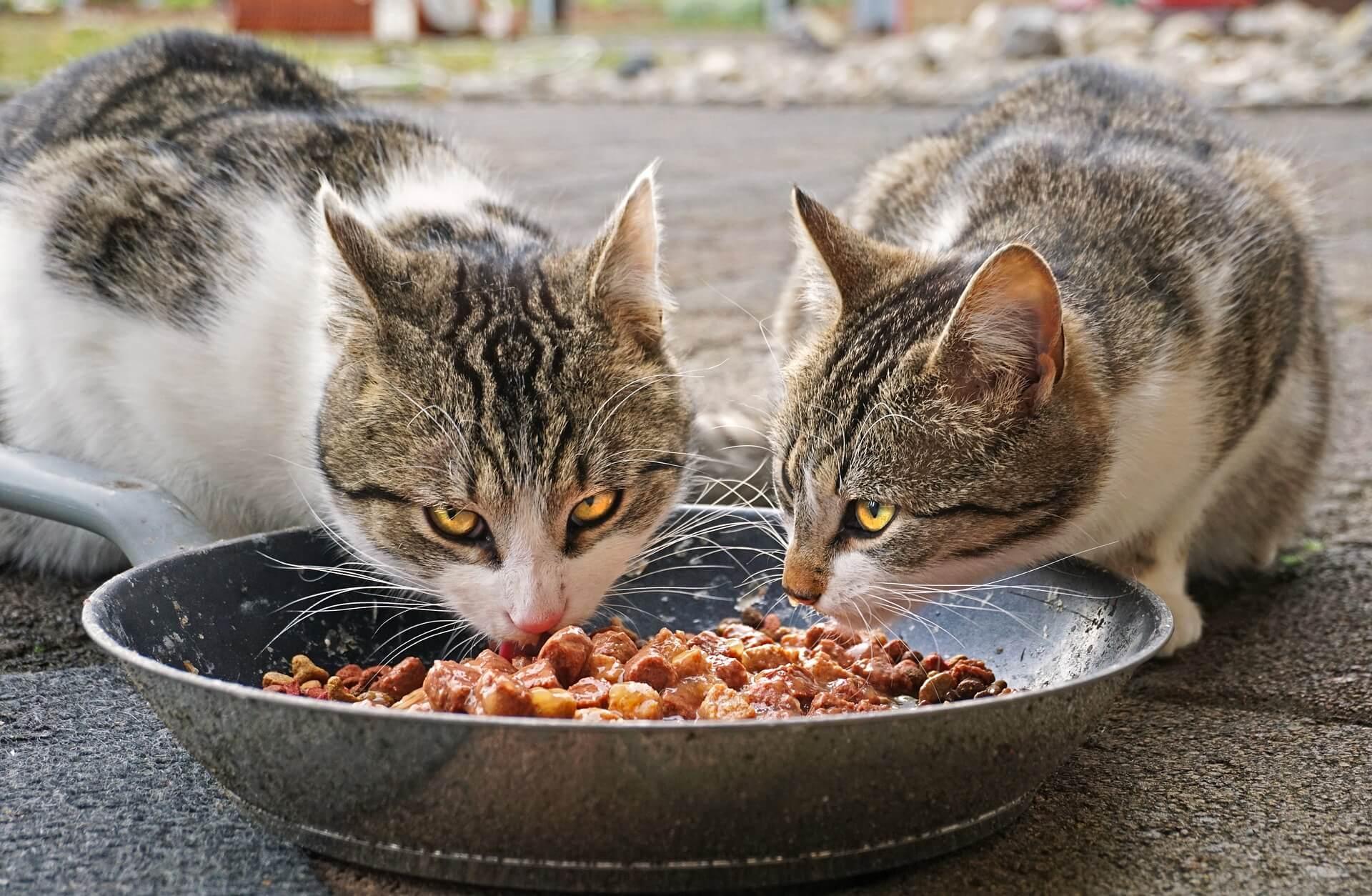 Cukupi Kebutuhan Gizinya agar Kucing Belekan Sembuh
