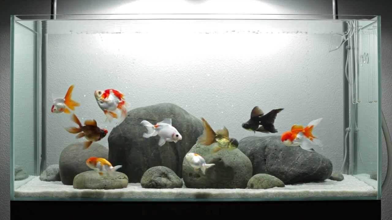 7 Tips Memelihara Ikan Koki Yang Baik Dan Benar