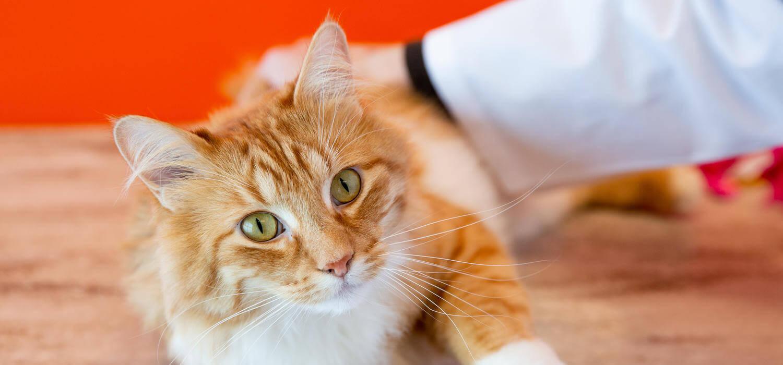 Evaluasi Proses Kesembuhan Kucing Belekan