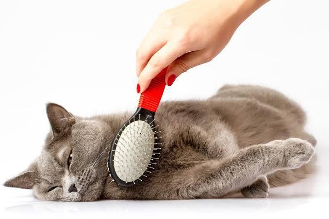Lakukan Grooming Untuk Pengobatan Sariawan Pada Kucing