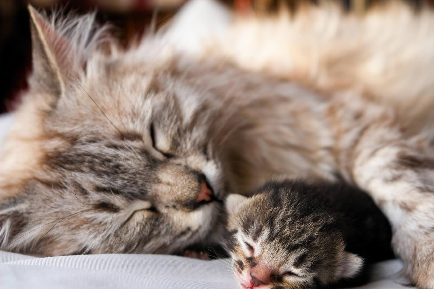Cara Merawat Bayi Kucing Persia: Jangan Pisahkan Antara Anak Dan Induk Kucing