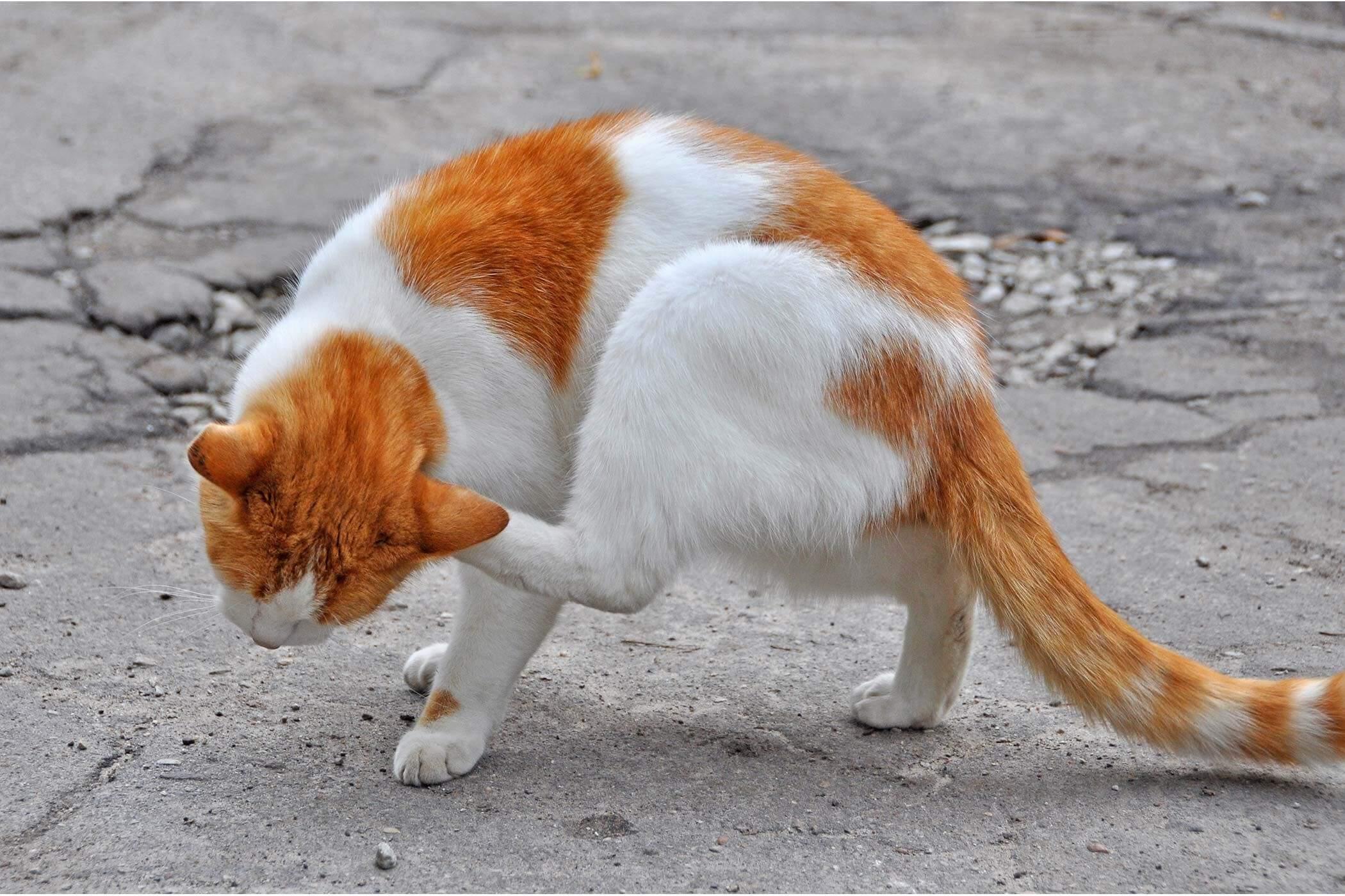 Infeksi Jamur Pada Kucing