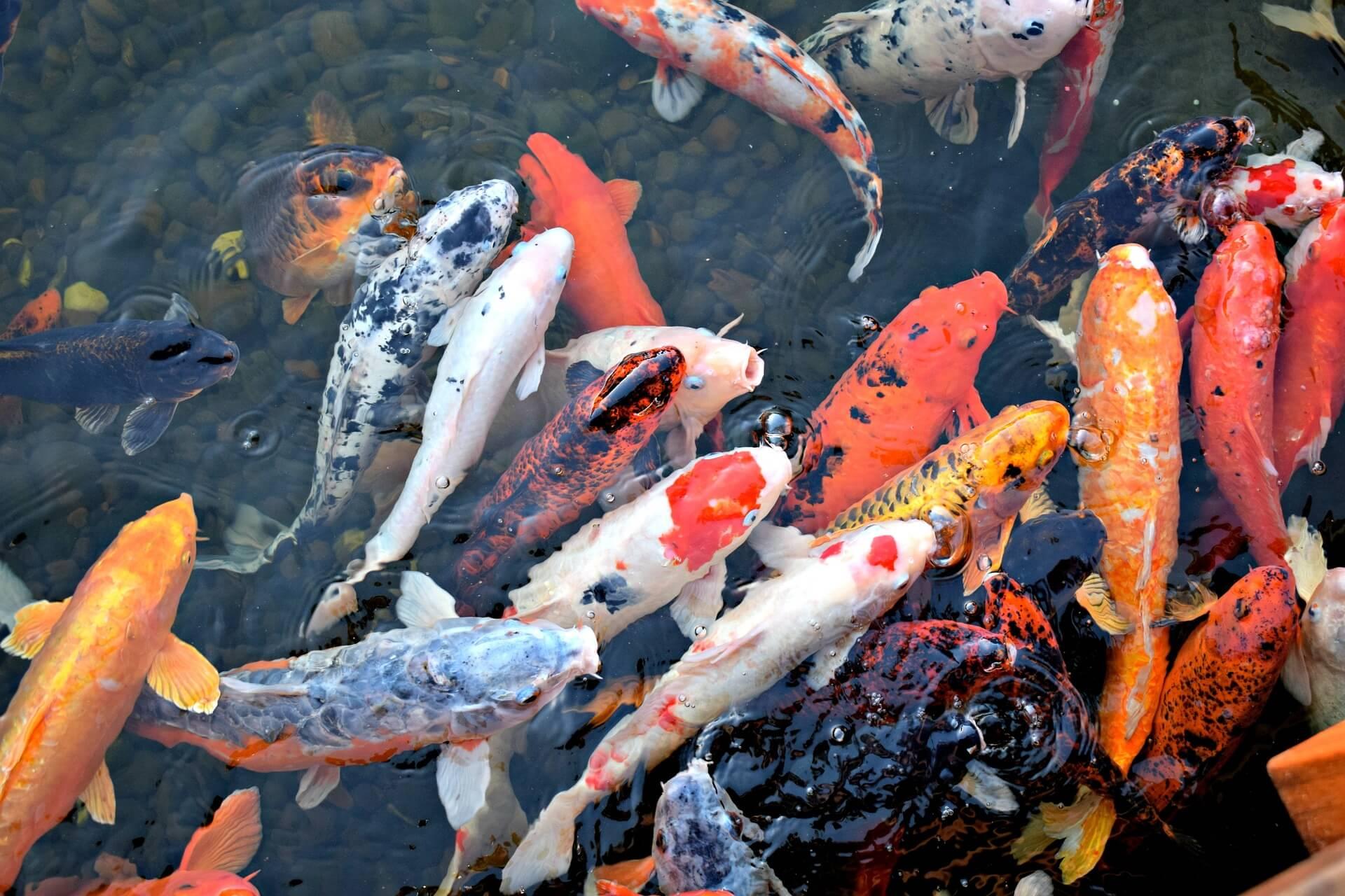 Jenis Ikan Koi yang Paling Banyak Diburu Penggemarnya