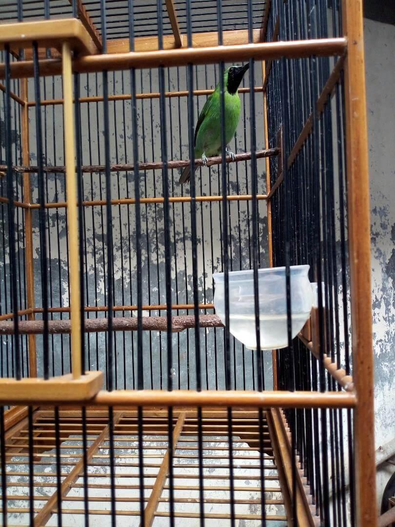 Biasakan Burung Cucak Ijo Berada Di Luar Rumah Agar Cepat Jinak