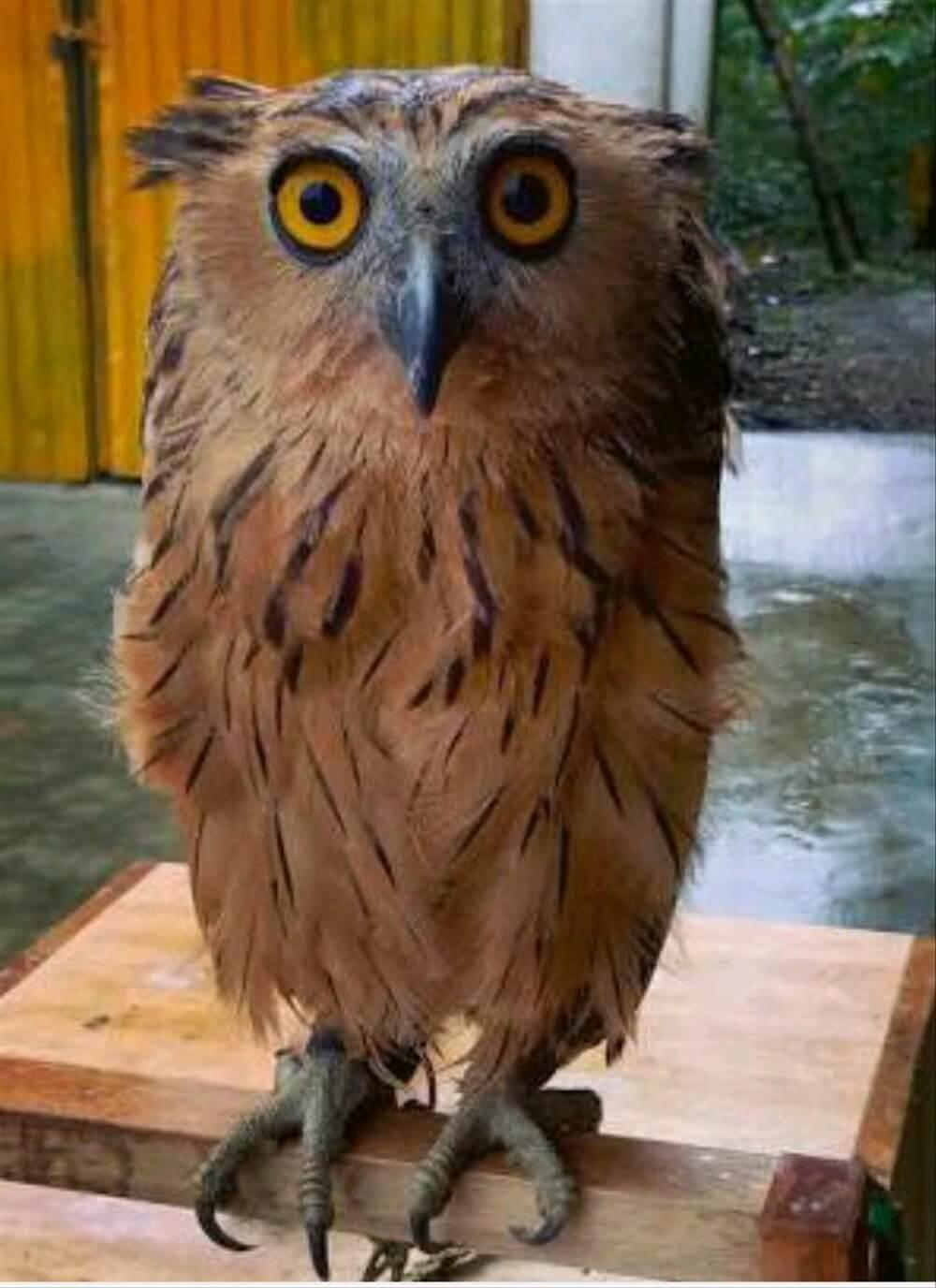 Mudah! 10 Cara Merawat Burung Hantu Celepuk Bagi Pemula