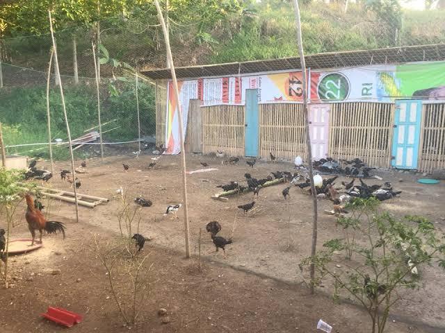 Kandang Umbaran Satuan Ayam Bangkok