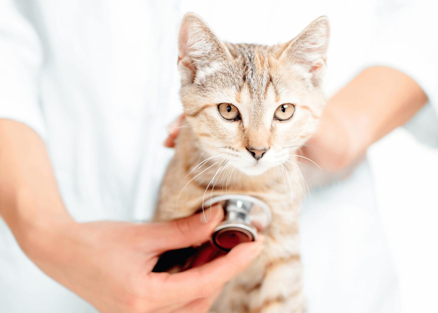 Cara Merawat Kucing Kampung Agar Gemuk: Perhatikan Kondisi Kesehatan Kucing